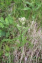 Yarrow (Achilea millifolium)
