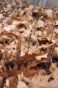 Beechdrops