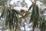Rhodedenron Leaves